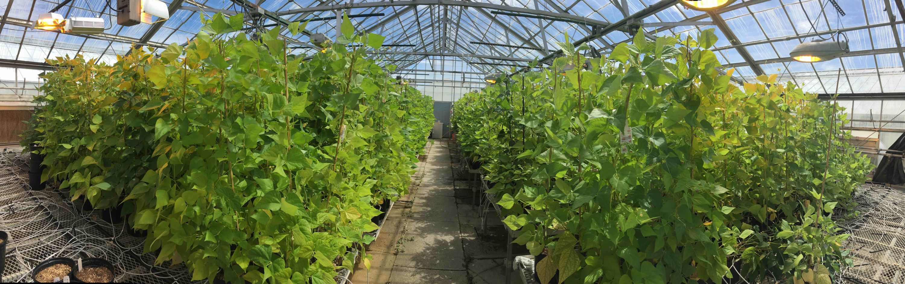 Panorama of bean plants in MSU Research Greenhouse