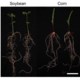 Fusarium Virguliforme Transcriptional Plasticity Is Revealed by Host Colonization