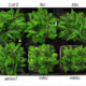 Bacteria establish an aqueous living space in plants crucial for virulence